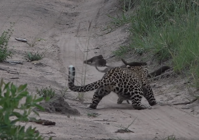 Mongoose Narrowly Avoids Becoming Young Leopard's Lunch