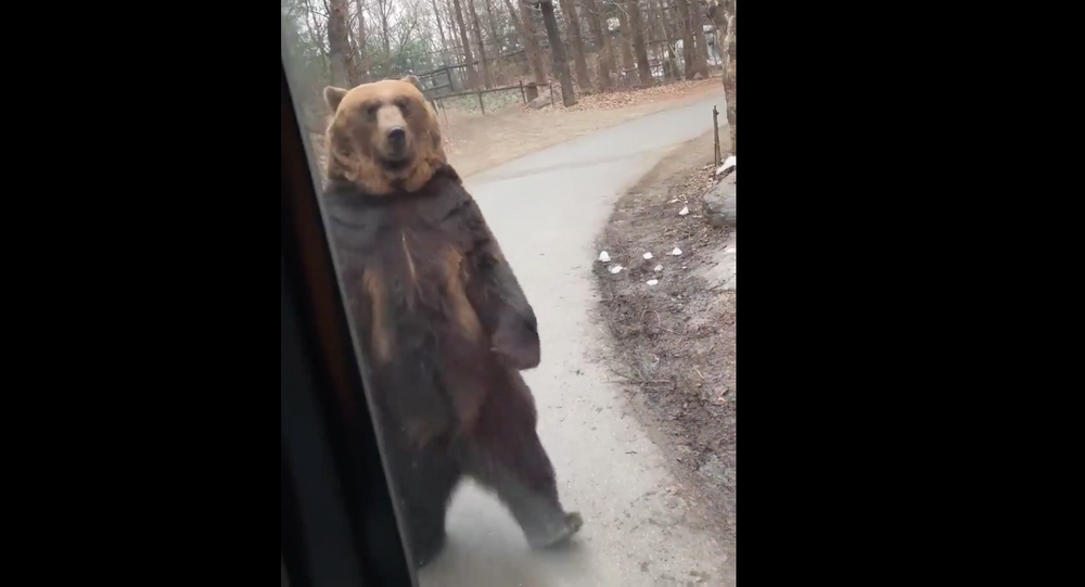 Upright Bear Appears to Mock Humans at South Korean Park