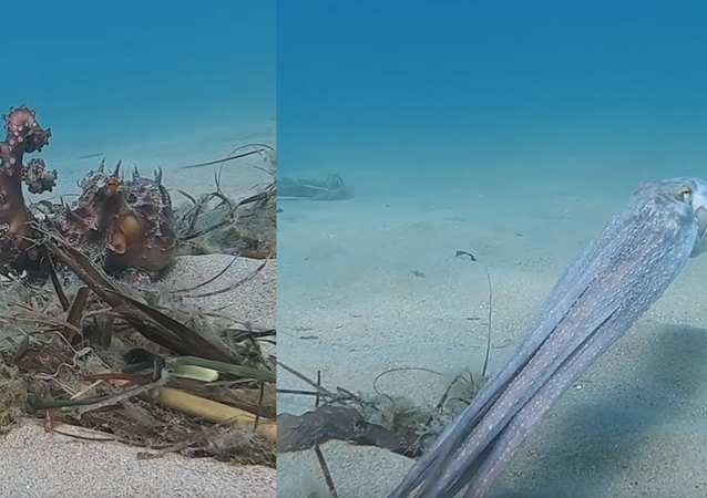 Cephalopod Camouflage: Octopus Takes Off, Turns Opaque