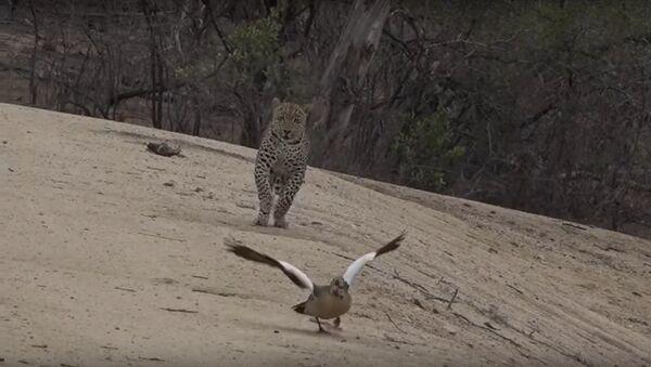 Mother Goose Outsmarts Leopard - Sputnik International