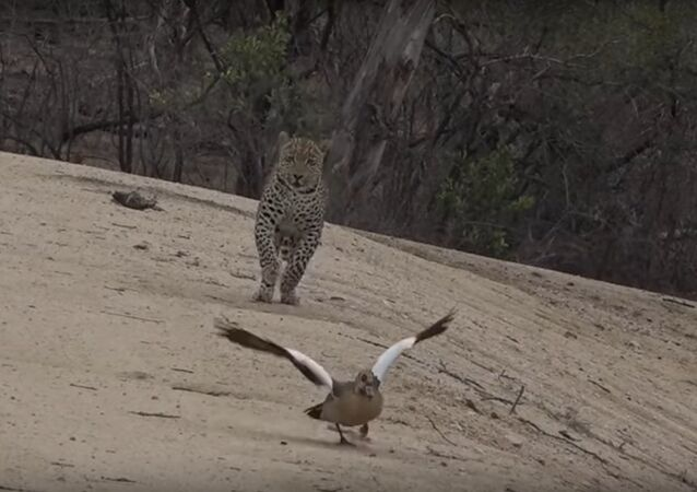 Mother Goose Outsmarts Leopard