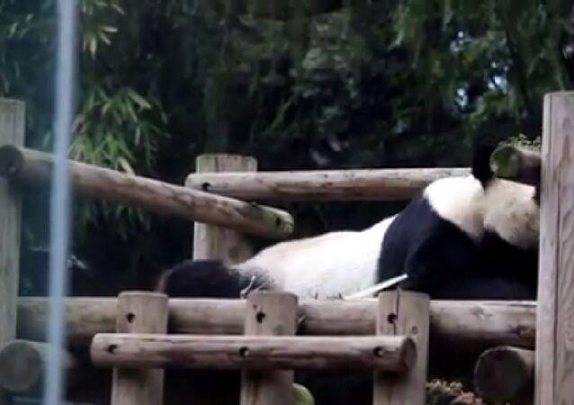 Panda and crow