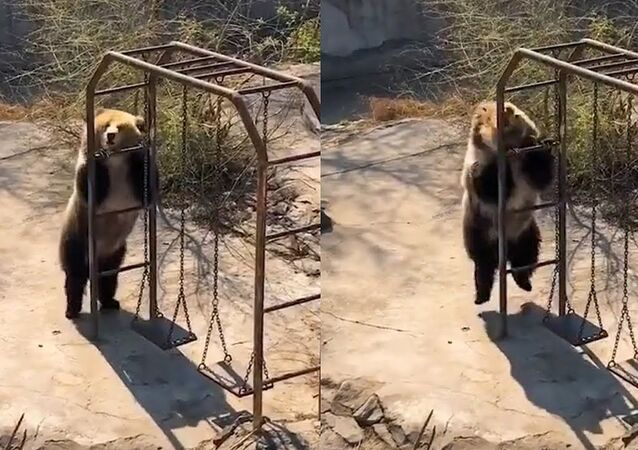 Disco dancing bear sends internet into a frenzy with her dance