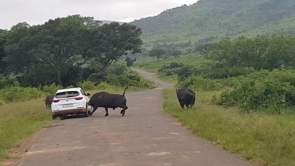 Buffalo Rams Car in African Hluhluwe–Imfolozi Park - Sputnik International
