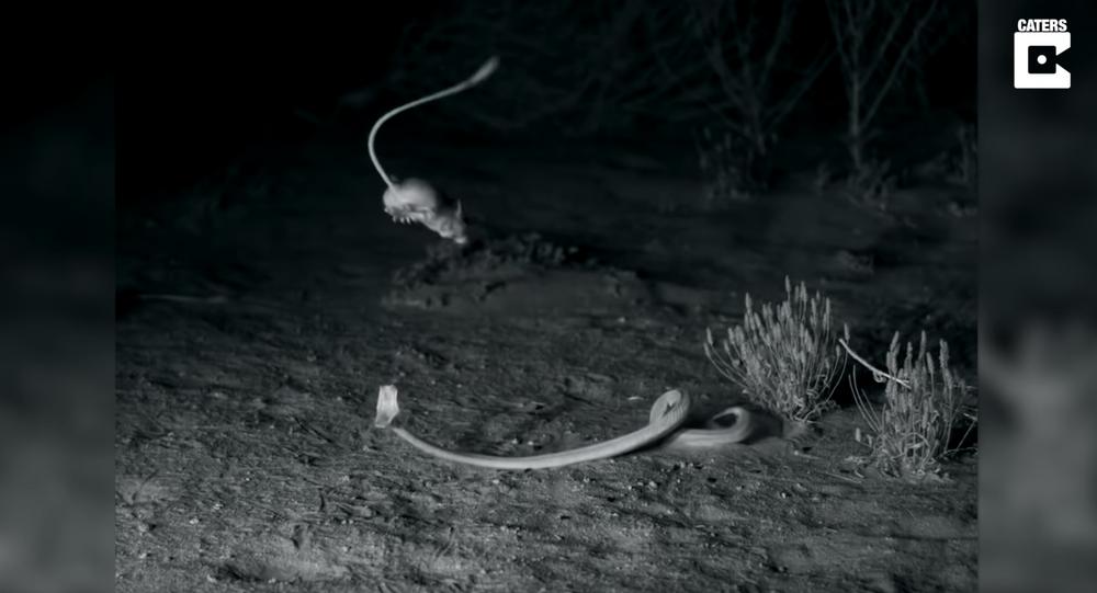 Ninja Rodents: Kangaroo Rats Evade Venomous Sidewinder Rattlesnakes