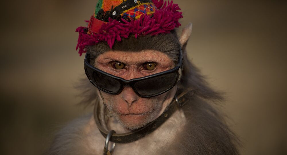 A dressed monkey sits at a roadside to earn money from passers-by for his owner in Islamabad, Pakistan on Friday, Jan 13, 2012