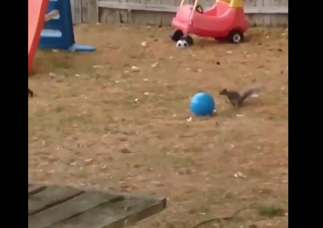 Squirrel playing With Ball