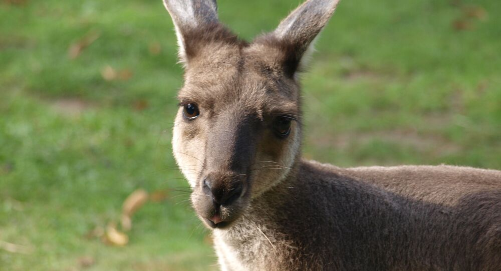 Kangaroo (File photo).