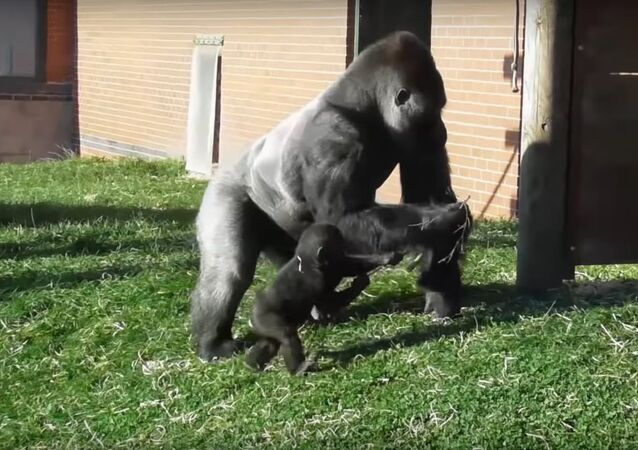Rowdy baby gorilla gets disciplined by his dad