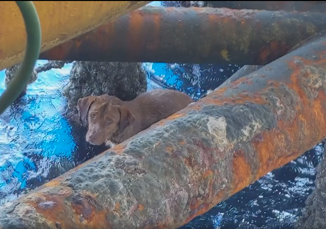 Dog Rescued 137 Miles From Shore in Gulf of Thailand
