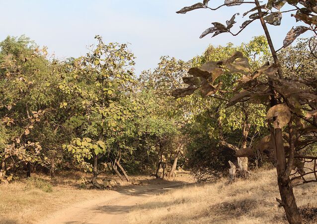 Teak trees in Gir Forest National Park