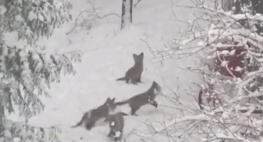 Five Baby Foxes Frolic in Spring Snowfall