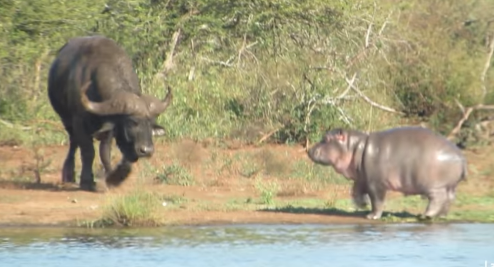 Hippo and Buffalo