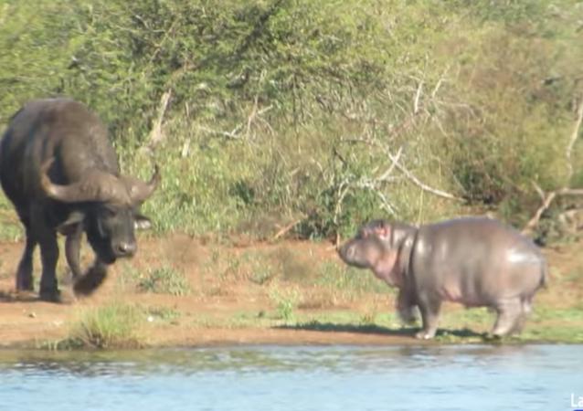Hippo and Buffalo