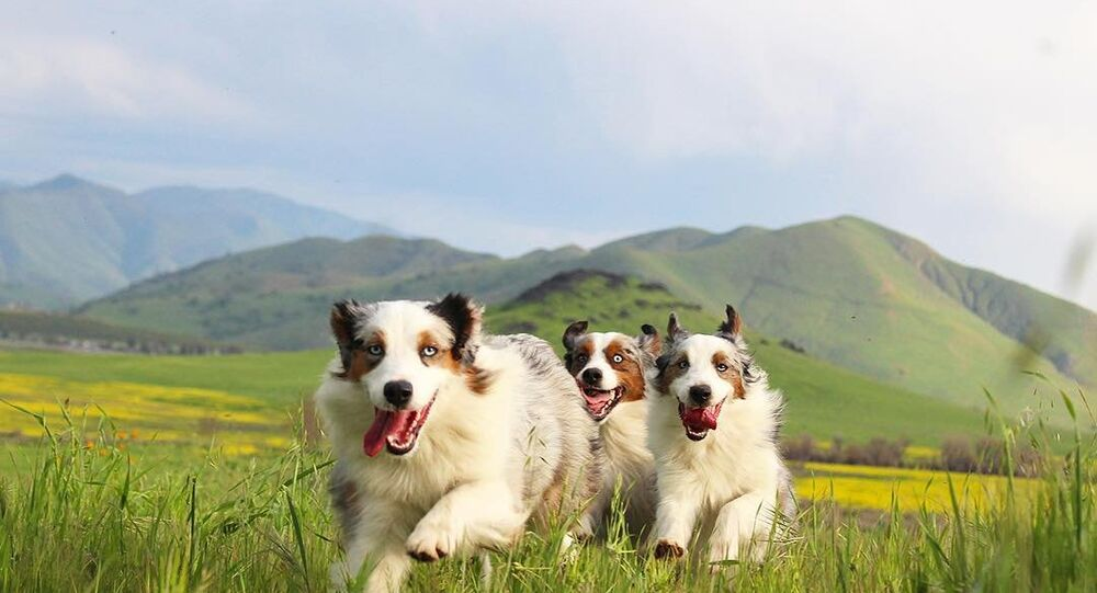 Australian Shepherds Jump in the Pasture