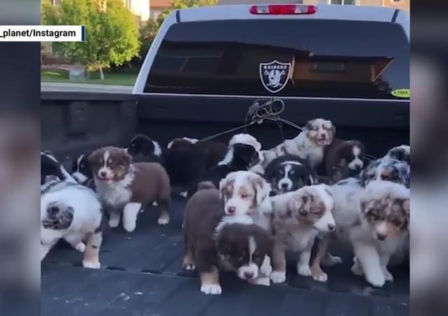 Precious Cargo: Australian Shepherd Pups Return Home
