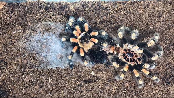 Timelapse of Molting Tarantula Will Make Your Skin Crawl - Sputnik International