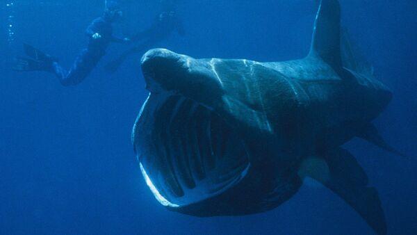Basking shark seen next to divers - Sputnik International