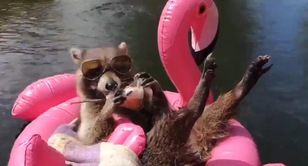 Laid-Back Raccoon Beats the Heat, Laps Up Cool Treat