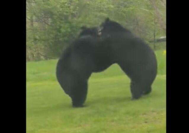 Bears wrestling