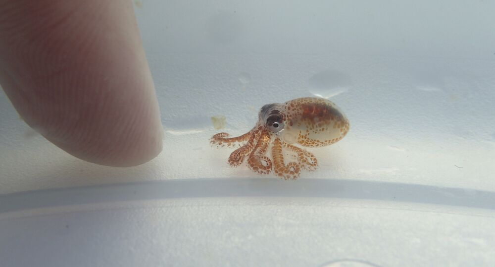 a baby octopus next to a woman's finger inside a plastic container at Kaloko-Honokohau National Historical Park in waters off Kailua-Kona, Hawaii