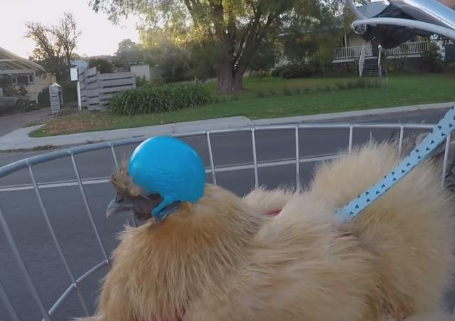 Safety Fowl: Silkie Chicken Dons Helmet for Evening Bike Ride