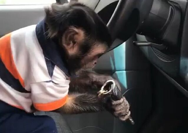 Monkey clutching at speed lever