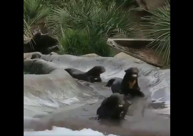 Otters having fun in water