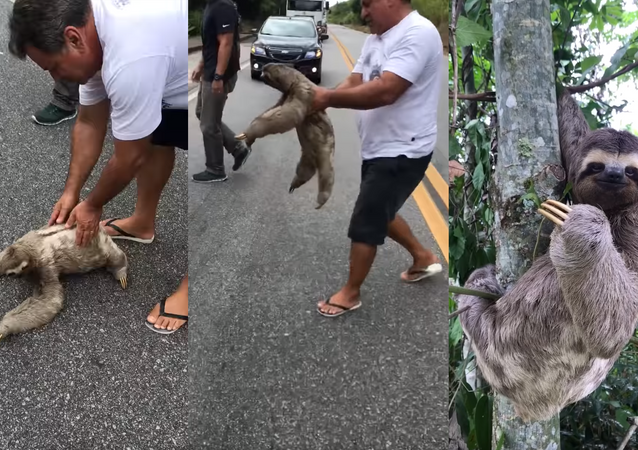 Well-Mannered Sloth Catches a Lift, Thanks Helpers