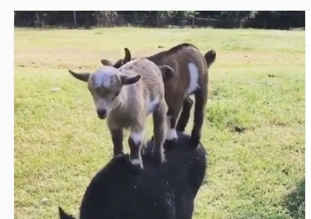 Goats trying to ride a boar
