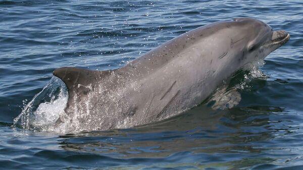 Bottlenose dolphin swimming in the ocean - Sputnik International