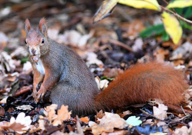A squirrel carries an acorn on November 8, 2018 in Hanover, central Germany.