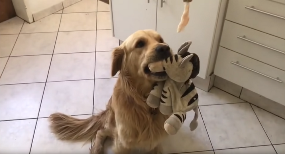Golden Retriever Finds Himself Faced With a Delicious Dilemma