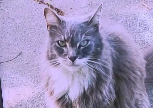 Blue the cat, whose body parts were first found discarded on the front lawn of a Sacramento elementary school