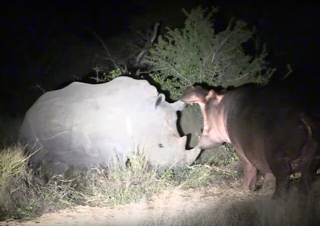 Hippo Learns Lesson From Rhinos