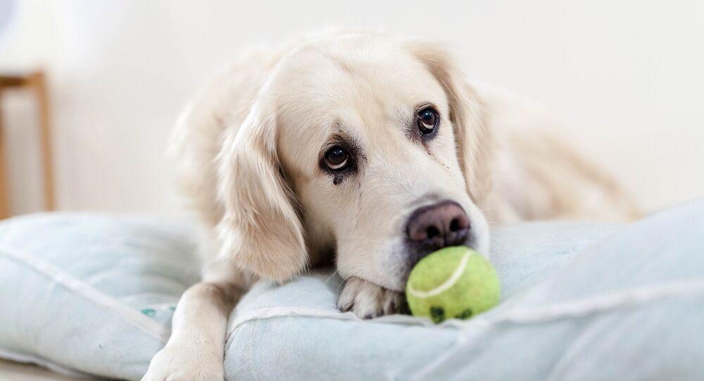 Sad golden retriever with tennis ball