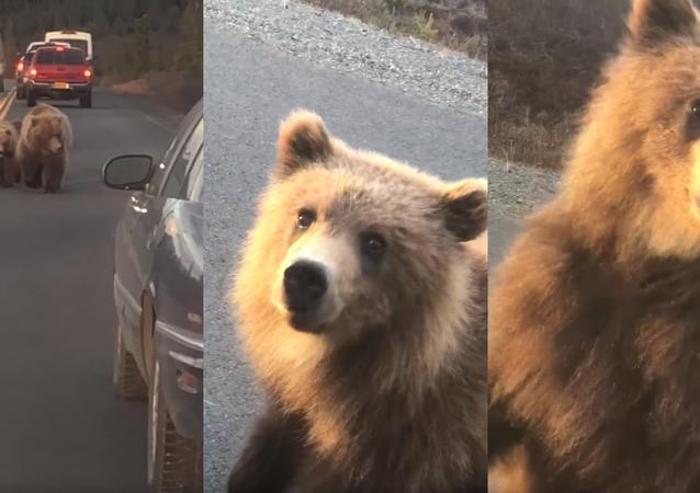 'Follow Mama, Don't Climb In': Nosy Brown Bear Cub Peeks in Car