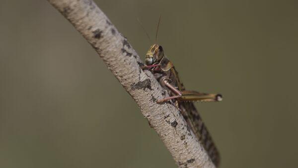 A locust hangs on a tree near Ashelim in the Negev Desert, southern Israel, Monday, March 11, 2013 - Sputnik International