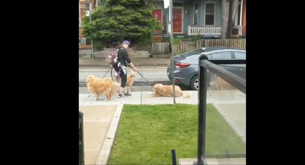 Golden retrievers during a walk