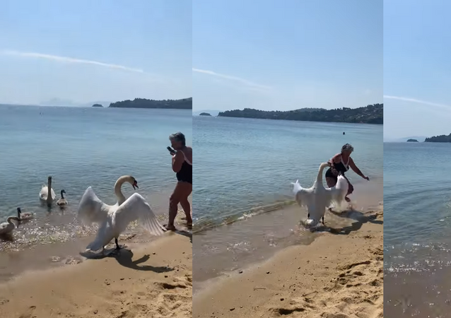 Family First: Father Swan Shoos Away Approaching Tourist