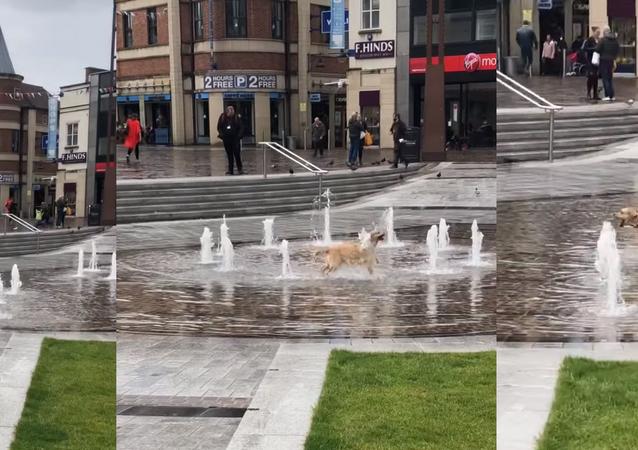 Golden Retriever Frolics Around UK Fountain