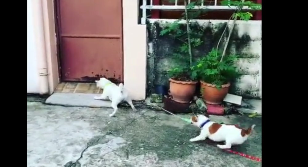 Let Me At 'Em! Puppy Holds Jack Russell Back From Potential Scuffle