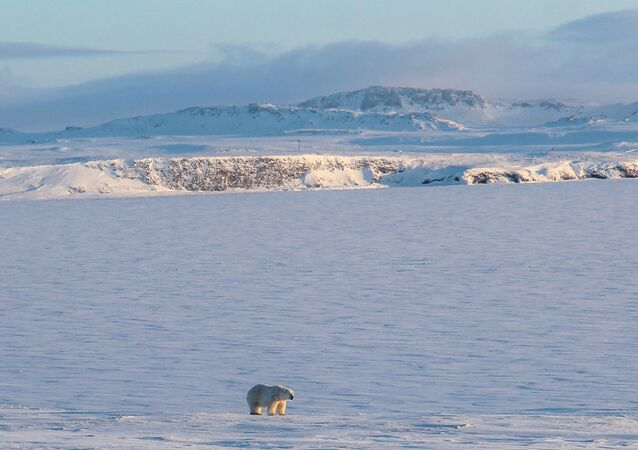 A polar bear walking on the coast of the remote Russian northern Novaya Zemlya archipelago