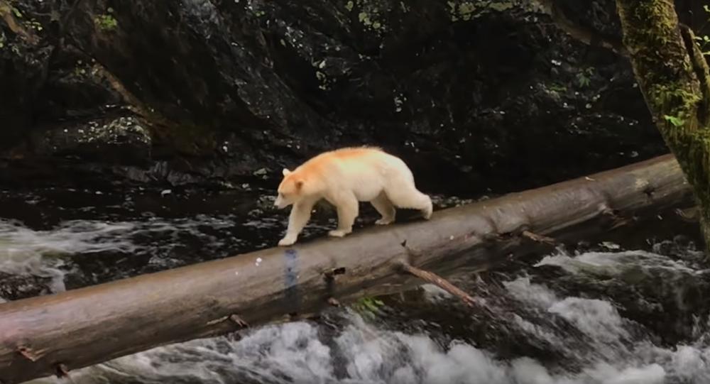 Man Encounters Elusive Spirit Bear in British Columbia