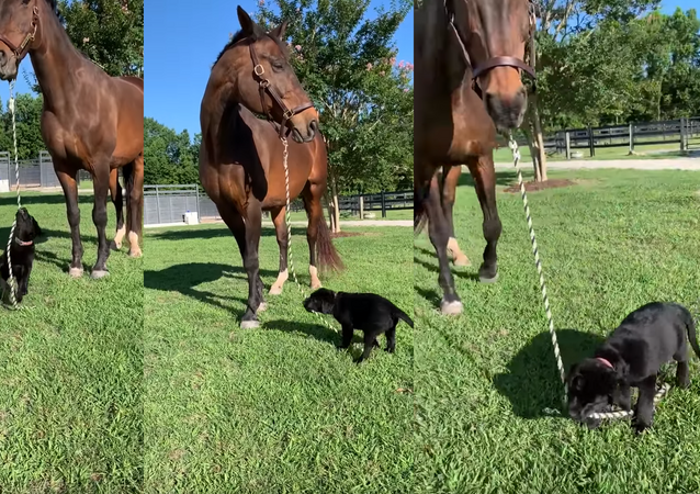 'Who's Walkin' Who?': 12-Week-Old Labrador Walks Horse