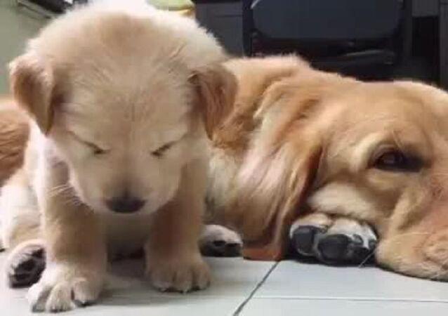 Sleep Mode: Tiny Golden Retriever Pup Ready for Nap Time