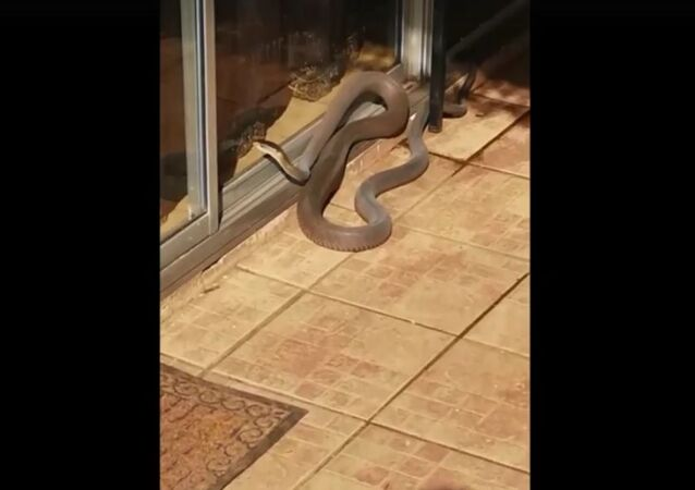 A BLACK MAMBA KNOCKING ON THE DOOR!!!