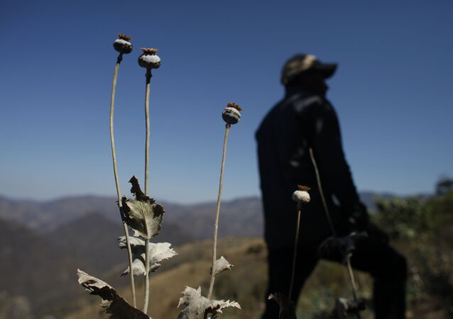 a man stands in a poppy flower field that the government sprayed with an herbicide in the Sierra Madre del Sur mountains of Guerrero state, Mexico.