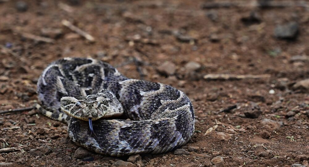 A Puff Adder rests on the ground in the Kenyan Rift Valleys of the Baringo county, which bears one of the highest incidences of venomous snake attacks in Kenya, on February 22, 2019.