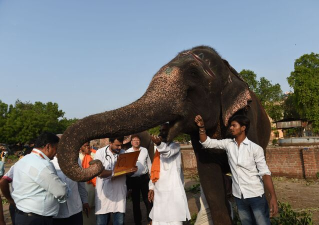 A veterinary (C) checks an elephant belonging to the Lord Jagannath temple ahead of Lord Jagannath Rath Yatra, in Ahmedabad on July 2, 2019